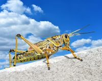 """Worst Northwest Heatwave In History Is About To Hit – Plague Of """"Voracious Grasshoppers"""" Has Now Begun"""