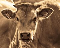 1000s Of Cattle Are Literally Dropping Dead From Starvation In Northern Mexico